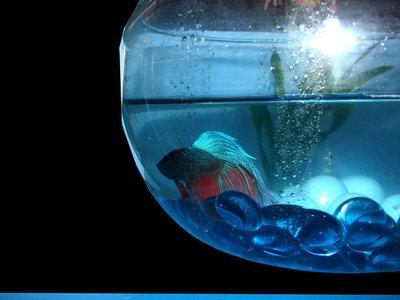 Blue pesce