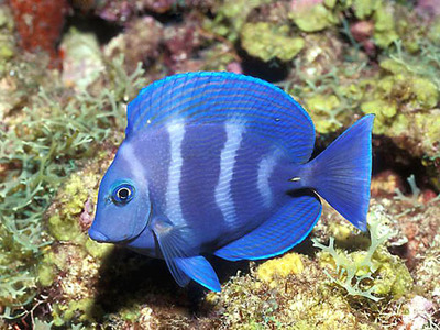 Animals wallpaper entitled Blue Fish
