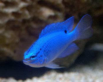 Blue peixe