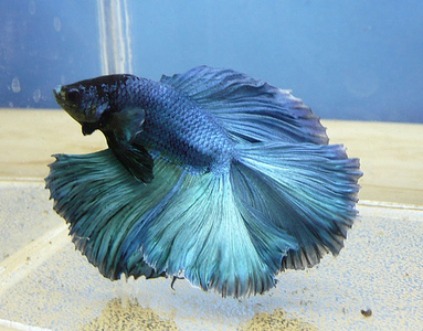 Blue ikan