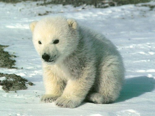 Cute polar 熊 cub