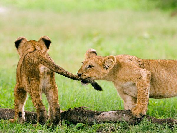 Funny lion cubs