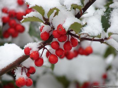 冬青, 冬青树