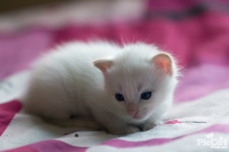 White Baby Cat Wallpaper