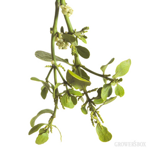 Flowers images Mistletoe wallpaper and background photos