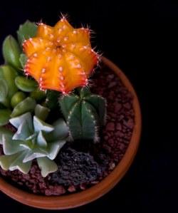কমলা Cactus