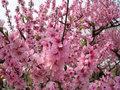 persik bunga