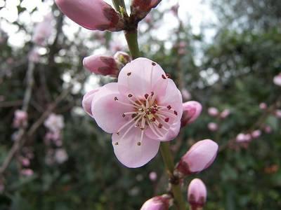 pêche, peach fleur