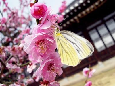 桃, ピーチ 花