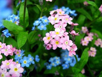 rosa Forget-Me-Not