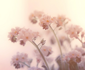 Flowers images pink forget me not wallpaper and background photos flowers images pink forget me not wallpaper and background photos mightylinksfo