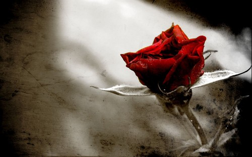 Rose Обои for gothic/Emo/scene people