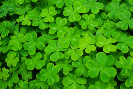 Flowers images shamrock wallpaper and background photos 28139093 flowers images shamrock wallpaper and background photos voltagebd Image collections