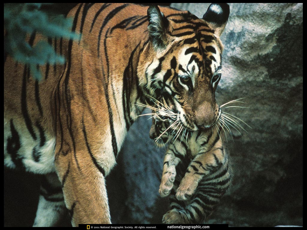animal cubs images tiger mother and cub hd wallpaper and background