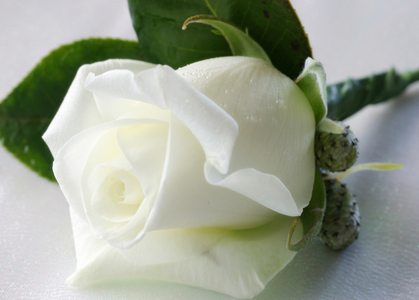 Flowers Images White Rose Wallpaper And Background Photos 28138849