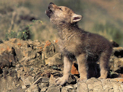 Animal Cubs wallpaper called Wolf cub howling