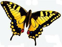 Yellow borboleta