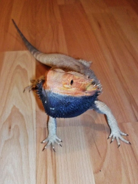 bearded-dragon-beard Images - Frompo - 1