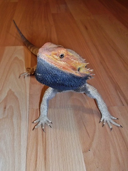 Bearded Dragons images Flared, Black Beard wallpaper and ...