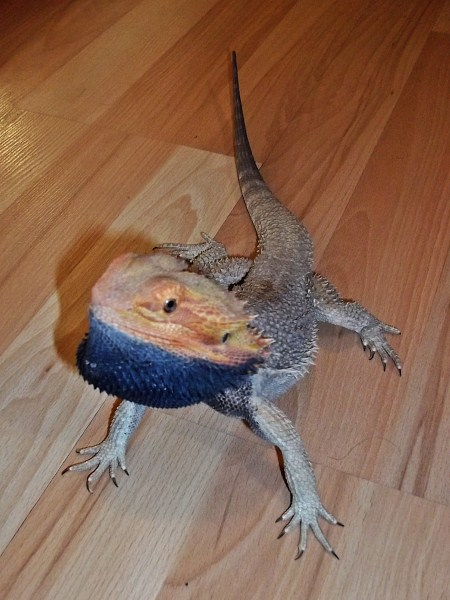 Dragon With Beard Bearded Dragons images...