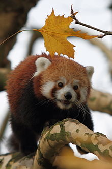 Red Pandas پیپر وال probably containing a lesser panda called ★red pandas❤
