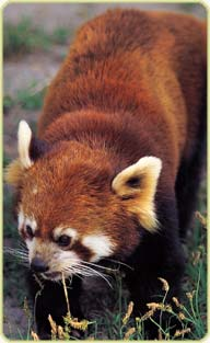 Red Pandas Hintergrund possibly with a lesser panda called ★red pandas❤