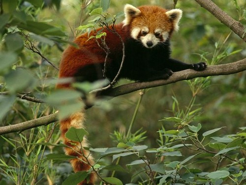 Red Pandas wolpeyper containing a lesser panda entitled ★red pandas❤