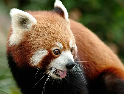 Red pandas wallpaper with a lesser panda titled ★red pandas❤