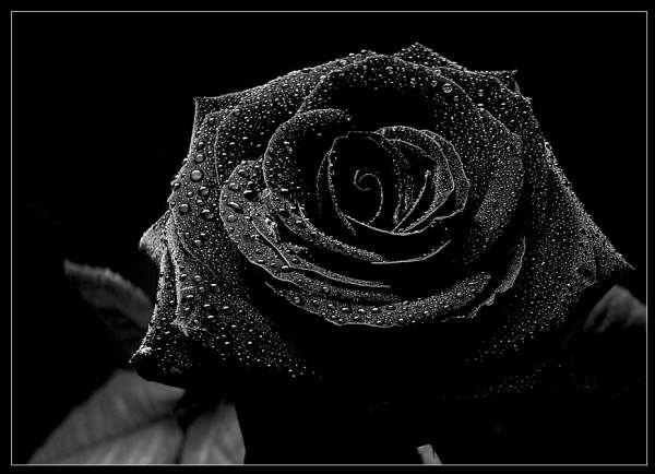 SOLITARY SOUL!!!: Black Rose