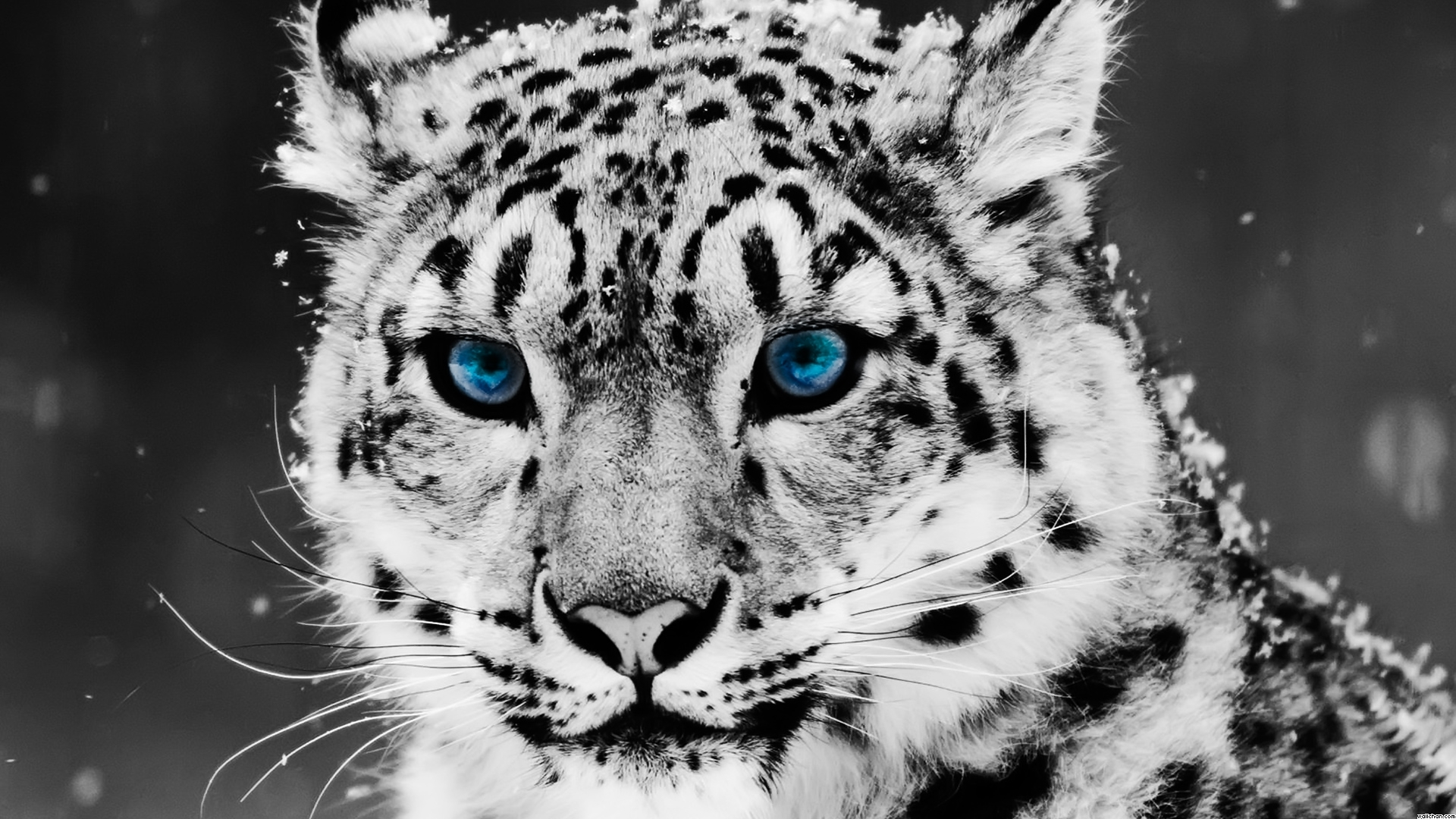 Eyes blue eyed snow leopard wallpaper