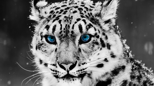 Blue Eyed Snow Leopard 壁纸
