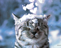 Cat in the Snow kertas dinding