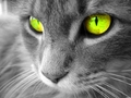 Green Eyed Cat - eyes photo