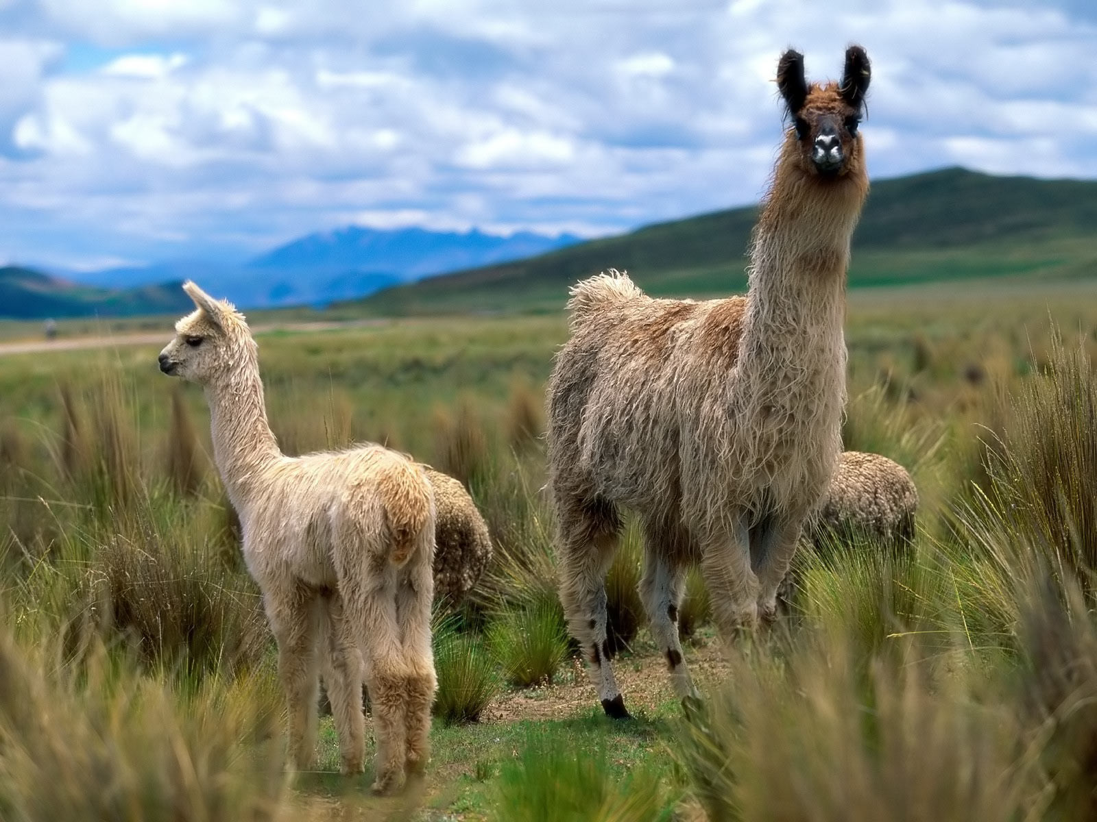 Alpacas And Llamas Wallpaper (28337713