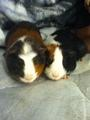 Mah Guinea Pigs :D