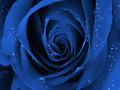 Plava ruža