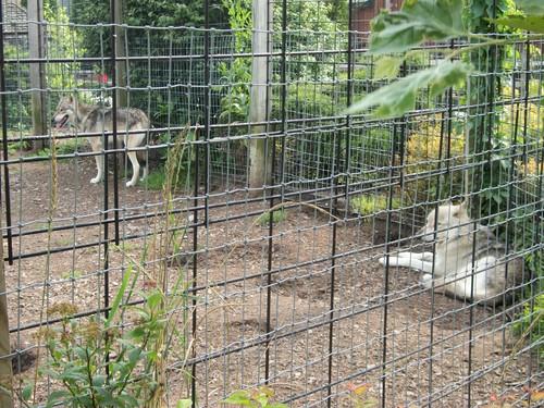 Pretty serigala at the local zoo. :)