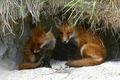 Red foxes.