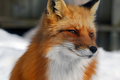 Red foxes. - fox photo