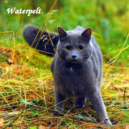 Make Your Own Warrior Cat! hình nền probably containing a raccoon called This Is ME!!! Waterpelt!