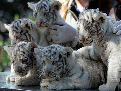 Tiger Cubs - white-tiger Photo