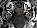 Tiger Eyes Wallpaper - eyes wallpaper