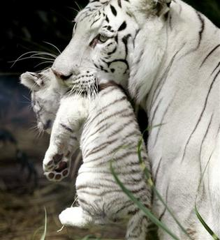 White Tiger Cub and Mother