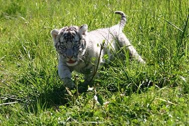 White Tiger Cub - white-tiger Photo