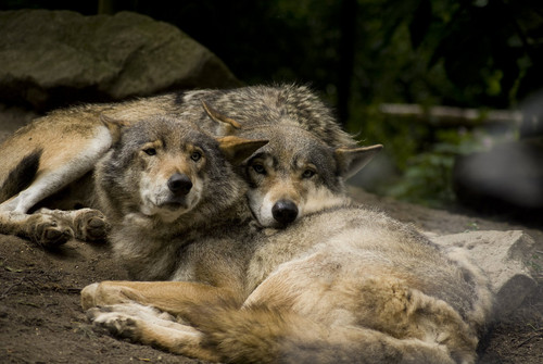 Wolves Snuggle - wolves Photo