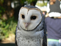 Australian Masked Owl  - owls photo