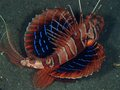Blackfoot lionfish - fish photo