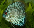Blue Discus - fish photo