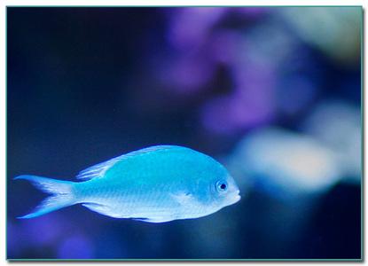 Blue মাছ