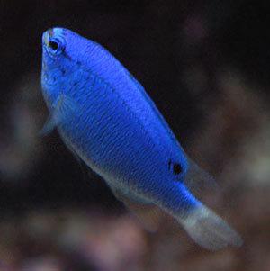 Blue 물고기